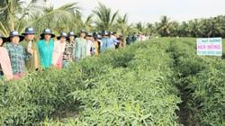 Tiền Giang: Cánh đồng trồng rặt một thứ cây ăn cay xè, 1ha lãi 500 triệu, xây được nhà tậu xe