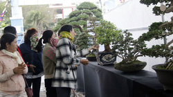 Phú Yên: Cây sam núi có dáng trực cổ kỳ mỹ đạt giải vàng ngày đầu năm 2021
