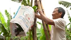 Lão nông hàng chục năm gìn giữ, bảo tồn nghề trồng chuối tiến Vua