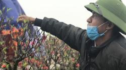 Tết nguyên đán Tân sửu:  Đưa đào thất thốn lên Mộc Châu trồng, giá bán gần 100 triệu đồng
