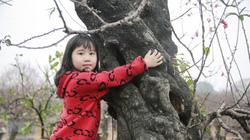 Xuất hiện cây đào cổ thụ khổng lồ 60 năm tuổi tại Nhật Tân