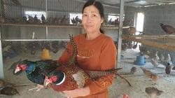 """Nam Định: Nuôi chim trĩ quý hiếm ví như chim """"tiến vua"""" bán đắt như tôm tươi, tháng cuối năm thu cả trăm triệu đồng"""