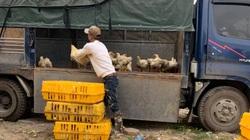 Giá gia cầm hôm nay 4/1: Cập nhật giá gà, vịt mới nhất tại ba miền