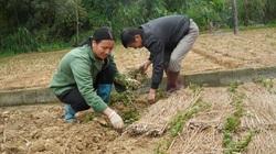 60 ha cây thạch đen được trao mã số vùng trồng, cơ hội làm giàu cho người dân Lạng Sơn