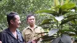 Yên Bái: Cây khôi nhung bào chế thuốc chữa bệnh gì mà nông dân ở đây trồng hái lá bán đắt tiền