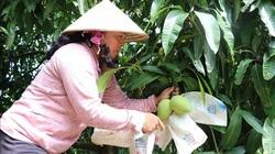 Sản xuất sản phẩm xoài chất lượng tạo nguồn nguyên liệu xuất khẩu
