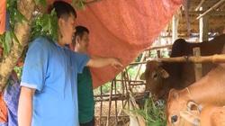 Nuôi bò nhốt chuồng, lấy phân bón cây ăn quả, mỗi năm nông dân thu gần 1 tỷ đồng