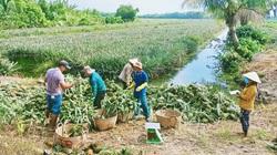 Long An: Giá khóm tăng cao bất ngờ, cứ bán 1 ký giá 10.000 đồng nông dân lãi ròng 5.000 đồng