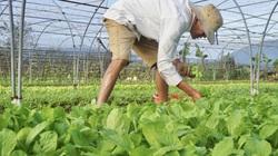 Đón Tết 2021: Nông dân Đà Nẵng tất bật vào vụ trồng rau lớn nhất năm, gỡ gạc vốn liếng