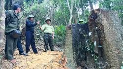 Gia Lai: Khởi tố vụ cưa hạ 49m3 gỗ, chuyển hồ sơ sang cơ quan điều tra