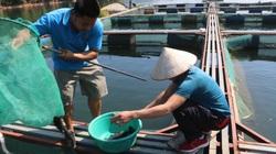 Đưa cá ra sông Đà nuôi, nông dân Quỳnh Nhai khấm khá