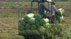 Bà Rịa - Vũng Tàu: Vụ lúa vừa trúng mùa, vừa được giá
