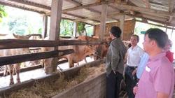 Phú Yên: Nuôi vỗ béo bò đực lai, nông dân lãi lớn