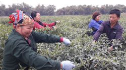 """Thái Nguyên: Trời rét tê tái nhưng giá ớt tăng """"nóng"""", nông dân vẫn lội ruộng hái 1 buổi sáng thu vài triệu bạc"""