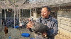 """Nuôi con gì bán Tết: Loài gà bay như chim, đã nhát chết còn hay """"lắm mồm"""", gọi 1 tiếng thương lái bắt cả đàn"""