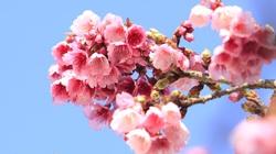 Bình Định tiếp nhận 1.000 cây giống hoa anh đào từ Nhật Bản