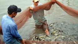 Cà Mau: Sét đánh chết 1,6 tấn cá sặc bổi, dân xôn xao