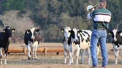 Người nông dân chuyên chơi nhạc Jazz cho... bò