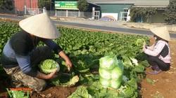 Chỉ với 1000m2 rau sạch, nông dân ở Sơn La thu tiền đều tay