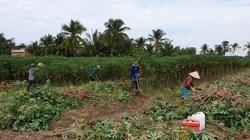 Sau ớt cay đến lượt thứ củ này trồng ở tỉnh Tây Ninh tăng giá chưa từng có, lý do là thế này đây