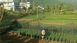 Thời tiết cực thuận lợi, nông dân Côn Đảo hồ hởi bước vào vụ rau quả Tết