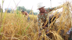 Người dân rủ nhau làm lúa sạch ăn ba ngày Tết
