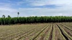 Trồng mía tím mang lại thu nhập khủng, lão nông An Giang bỏ lúa trồng cây công nghiệp