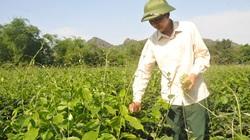 Ninh Bình: Đem thứ rau rừng đặc sản về trồng, ăn ngọt như mì chính, bán rõ đắt mà thương lái tranh nhau mua
