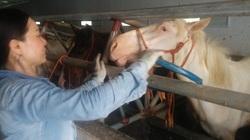 Tuyệt kỹ trong làng nuôi ngựa bạch mắt đỏ ở tỉnh Thái Nguyên