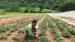 Thanh Hóa: Nơi núi non hẻo lánh, nông dân trồng thứ sâm gì mà đào lên toàn củ to bự, trắng hếu, bán đắt tiền