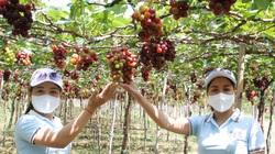Ninh Thuận: Tết Tân Sửu 2021, các vườn nho trĩu quả, làng gốm Bàu Trúc hút khách tới xông đất đầu năm