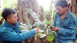 """Lào Cai: Chàng trai người Hà Nhì trồng cây thuốc quý hiếm trong khu vườn """"bí ẩn"""" mà thương lái Trung Quốc đang săn lùng"""