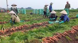 Tiêu thụ nông sản tại Hải Dương đã khó lại thêm khó