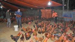 Giá gia cầm hôm nay 16/2: Giá gà, vịt thịt tại các vùng đang diễn biến ra sao?