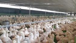 """Giá gia cầm hôm nay 17/2: Cập nhật giá gà, vịt thịt mới nhất, các chủ trang trại tìm kế """"cắt lỗ"""""""