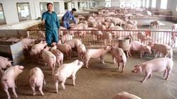 Tuyên Quang: Năm trâu lên xứ nuôi trâu ngố lại gặp ông tỷ phú nông dân nuôi lợn, doanh thu năm 2020 là 20 tỷ