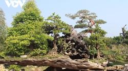 Tiền Giang: Vườn kiểng cổ thụ lớn nhất miền Tây, cây Vạn niên tùng 100 tuổi trông thế này mà giá tới 5 tỷ đồng