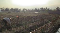 """Bài dự thi """"Ăn Tết thời Covid"""": Tết của những người nông dân gần tâm dịch"""