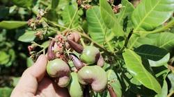 Bình Phước: Dịch Covid-19 khiến giá điều thô tăng mạnh, nông dân khấp khởi chờ vụ điều mới thắng lớn