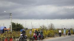 Thủ phủ mai vàng miền Trung doanh thu gần 80 tỉ đồng trong vụ Tết