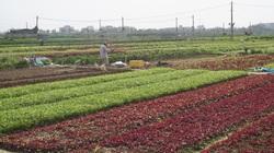 """Sau Tết rau xanh """"tươi tỉnh"""" thế này sao gương mặt nông dân tỉnh Quảng Nam và TP Đà Nẵng lại ỉu xìu thế kia?"""