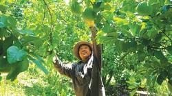 Phú Yên: Một ông nông dân gom các giống cam đặc sản của cả nước về vườn nhà mình trồng và cái kết bất ngờ
