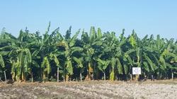 Ninh Bình: Trên bờ trồng chuối tây Thái Lan, dưới ao thả cá, thu nhập vài trăm triệu đồng/năm