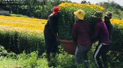 Hoa Tết từ vườn ra phố bị cản chân bởi dịch Covid-19, nông dân tỉnh Đồng Nai thấp thỏm lo âu