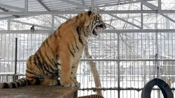 Chuyện lạ có thật: Con hổ có tiếng kêu thánh thót như chim hót