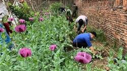 Phát hiện 3.000 cây cần sa, anh túc trồng trong vườn nhà dân