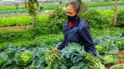 Nông dân ngoại thành Hà Nội trắng tay vì rau, củ quả rớt giá thảm hại