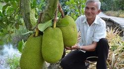 Giá mít Thái ở ĐBSCL lại tăng cao, nông dân trồng mít Thái tỉnh Tiền Giang có mít bán là trúng đậm
