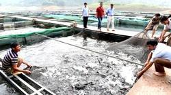 Tuyên Quang: Vùng đất dân đổi đời nhờ nuôi thứ cá Bỗng quý hiếm đẹp như tranh, kéo lưới lên ai cũng trầm trồ
