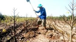 Long An: Nông dân trồng mai vàng kiểu nông nghiệp công nghệ cao có né được cảnh dội chợ, ế hàng chiều 30 tết?
